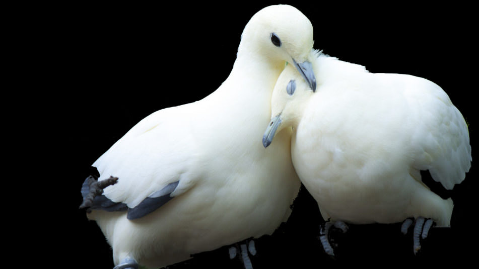 Doves Black